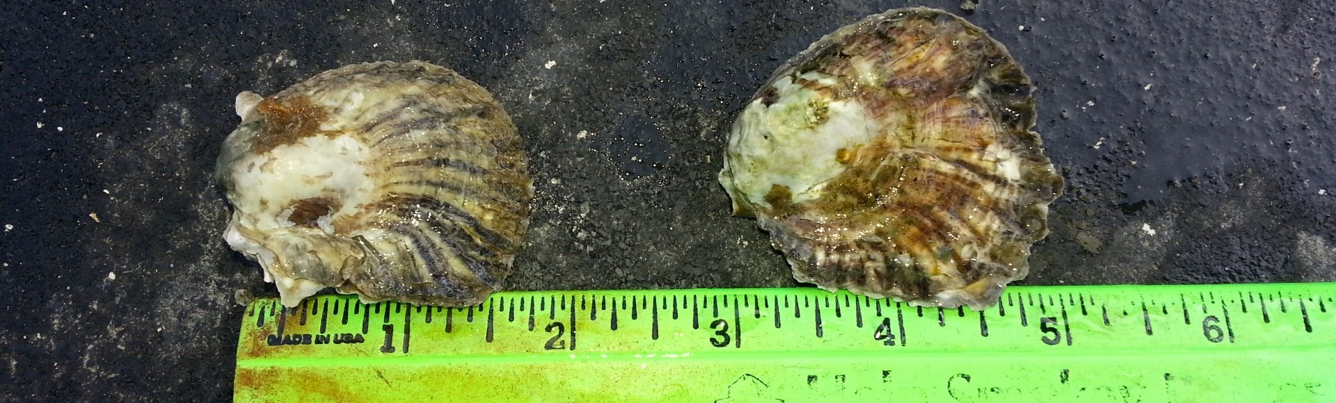 Native Olympia Oysters